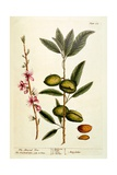 The Almond Tree, Plate 105 from 'A Curious Herbal', Published 1782 Giclee Print by Elizabeth Blackwell