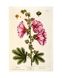 Hollyhocks, Plate 54 from 'A Curious Herbal', Published 1782 Giclee Print by Elizabeth Blackwell
