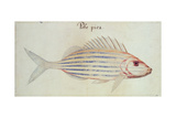 Blue Striped Grunt Fish Giclee Print by John White