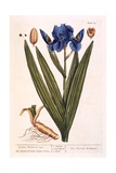 Iris, Plate 69 from 'A Curious Herbal', Published 1782 Giclee Print by Elizabeth Blackwell