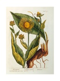 Elecampane, Plate 473 from 'A Curious Herbal', Published 1782 Giclee Print by Elizabeth Blackwell