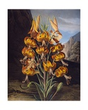 The Superb Lily, from 'The Temple of Flora' by Robert Thornton, Engraved by Richard Earlom… Giclee Print by Philip Reinagle