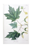 Sugar Maple Giclee Print by Henri Joseph Redouté