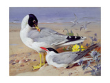 Black Headed Gulls Giclee Print by Archibald Thornburn