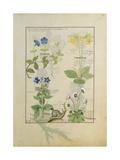 Ms Fr. Fv VI 1 Fol.114 Top Row: Blue Clematis or Crowfoot and Primula. Bottom Row: Borage or… Lámina giclée por Robinet Testard