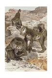 """Baboon, Plate from """"Brehms Tierleben: Allgemeine Kunde Des Tierreichs"""", Vol.1, P.166, Published… Giclee Print by Wilhelm Kuhnert"""
