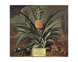 Pineapple Grown in Sir Matthew Decker's Garden, Richmond, Surrey, 1720 Giclee Print by Theodorus Netscher