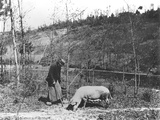 Searching for Truffles, C.1900 Photographic Print