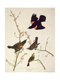 Red-Winged Starling, from 'Birds of America', Engraved by Robert Havell (1793-1878) Published 1820 Giclee Print by John James Audubon