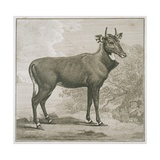 Plate of the Nyl-Ghan, Engraved by James Basire (1730-1802) Giclee Print by George Stubbs