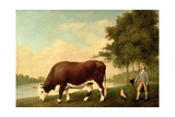 The Lincolnshire Ox, C.1790 Giclee Print by George Stubbs