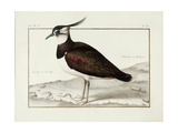 A Lapwing Giclee Print by Nicolas Robert