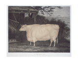 A Prize Ox, Engraved by John Thompson, Smeaton, Yorks, 1831 Giclee Print by Thomas Weaver