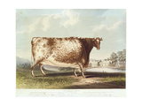 The Airedale Heifer, Engraved by R. Reeve, 1820 Giclee Print by John Bradley