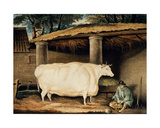 A Short Horned Heifer, Engraved by William Ward, Dartington, 1811 Giclee Print by Thomas Weaver