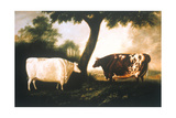 Two Shorthorn Cattle, 1806 Giclee Print by Thomas Harrington Wilson