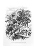 Pine Trees in the Rungelt Valley of the Himalayas, from 'Himalayan Journals', 1854 Giclee Print