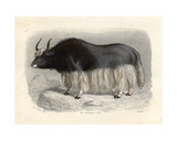 The Tartary Cow, Engraved by E. Ramus Giclee Print by H. Gobin