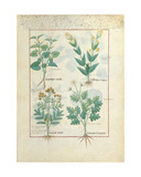 Ms Fr. Fv VI 1 Fol.124R Top Row: Aristolochia Rotundi and Aristolochia Longua. Bottom Row:… Giclee Print by Robinet Testard