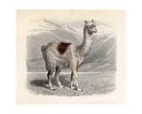 The Llama, Engraved by E. Ramus Giclee Print by H. Gobin