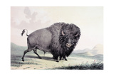 A Buffalo Bull Grazing Giclee Print by George Catlin