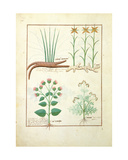 Ms Fr. Fv VI 1 Fol.119V Cyperus, Calamus, Crocus Ostensis, Illustration from 'The Book of Simple… Giclee Print by Robinet Testard