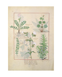 Ms Fr. Fv VI 1 Fol.135V Illustration from 'The Book of Simple Medicines' by Mattheaus Platearius… Giclee Print by Robinet Testard