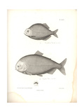 Characidae Giclee Print by Friedrich Alexander Humboldt