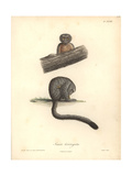 Simia Trivirgata Giclee Print by Friedrich Alexander Humboldt