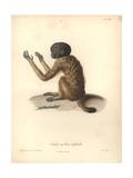 Simia Melanocephala Giclee Print by Friedrich Alexander Humboldt