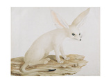 """Fennec No. 3 Original of Illustration in """" Travels Through Abyssinia"""" Giclee Print by James Bruce"""