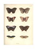 Lepidoptera Giclee Print by Friedrich Alexander Humboldt