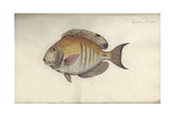 Chaetodon Chirurgus, before 1787 Giclee Print by Friedrich August Kruger