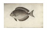 Chaetodon Nigricans, before 1787 Giclee Print by Friedrich August Kruger
