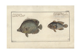 Chaetodon Ocellatus, before 1790 Giclee Print by Friedrich August Kruger
