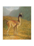 Guanaco, C.1848 Giclee Print by Jacques-Laurent Agasse