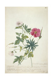 Geranium. Two Intertwined Stems of Different Species, 1767 Giclee Print by Georg Dionysius Ehret