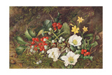 Holly and Christmas Roses Giclee Print by Jane Taylor