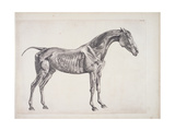 "Plate from ""The Anatomy of the Horse"", C.1766 Giclee Print by George Stubbs"