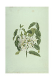 Taberne Montana (Leaves and Flowers) Giclee Print by James Bruce
