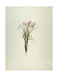 Unidentified Plant with Flowers Giclee Print by Luigi Balugani