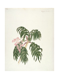 Cusso or Banbesia; Abyssinia (Leaves and Flowers) Giclee Print by Luigi Balugani