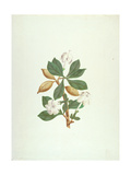 Aquariti (Leaves, Flowers and Fruit) Giclee Print by James Bruce
