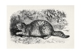 Cat Savage and Prepared to Fight, from Charles Darwin's 'The Expression of the Emotions in Man… Giclee Print by Thomas W. Wood
