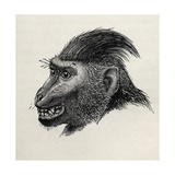 Cynopithecus Niger When Pleased by Being Caressed, from Charles Darwin's 'The Expression of the… Giclee Print by  Mr. Wolf