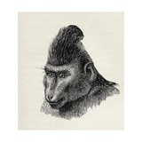 Cynopithecus Niger in a Placid Condition, from Charles Darwin's 'The Expression of the Emotions… Giclee Print by  Mr. Wolf