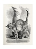 Cat in an Affectionate Frame of Mind, from Charles Darwin's 'The Expression of the Emotions in… Giclee Print by Thomas W. Wood