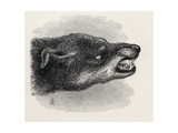 Head of Snarling Dog, from Charles Darwin's 'The Expression of the Emotions in Man and Animals',… Giclee Print by Thomas W. Wood