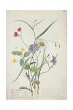 Lathyrus Nissolia, Chrysanthemum Leucanthemum, Linum Perenne, Lysimackia Nemorum, 1767 Giclee Print by Georg Dionysius Ehret