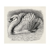 Swan Driving Away an Intruder, from Charles Darwin's 'The Expression of the Emotions in Man and… Giclee Print by Thomas W. Wood